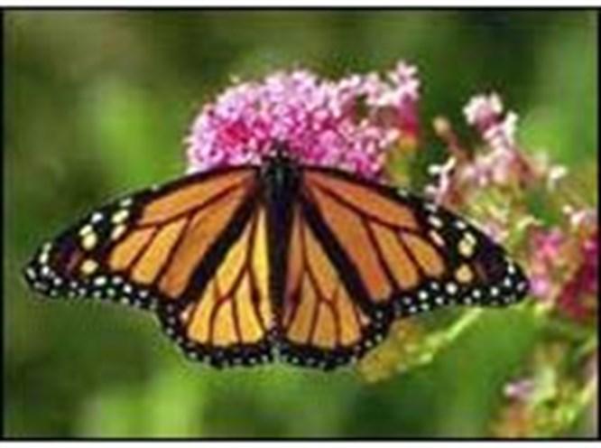 Kelebekler, tehlike altında